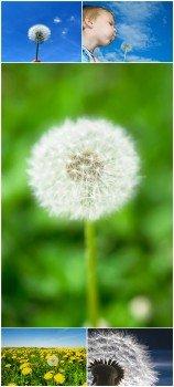 Photo Cliparts - Dandelion