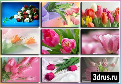 Обои - Красота тюльпанов